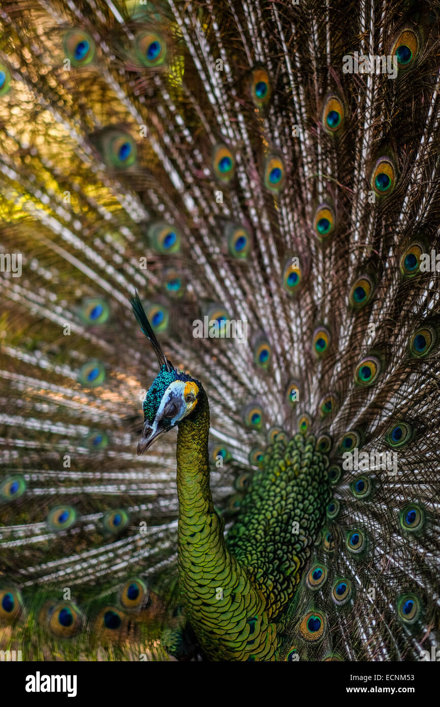 Green peafowl (Pavo muticus) fans its tail. - Stock Image