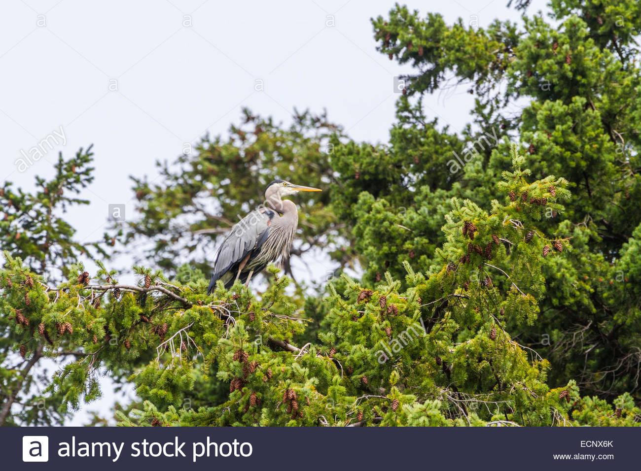 Heron perching on tree - USA - Washington - Bellingham - Stock Image
