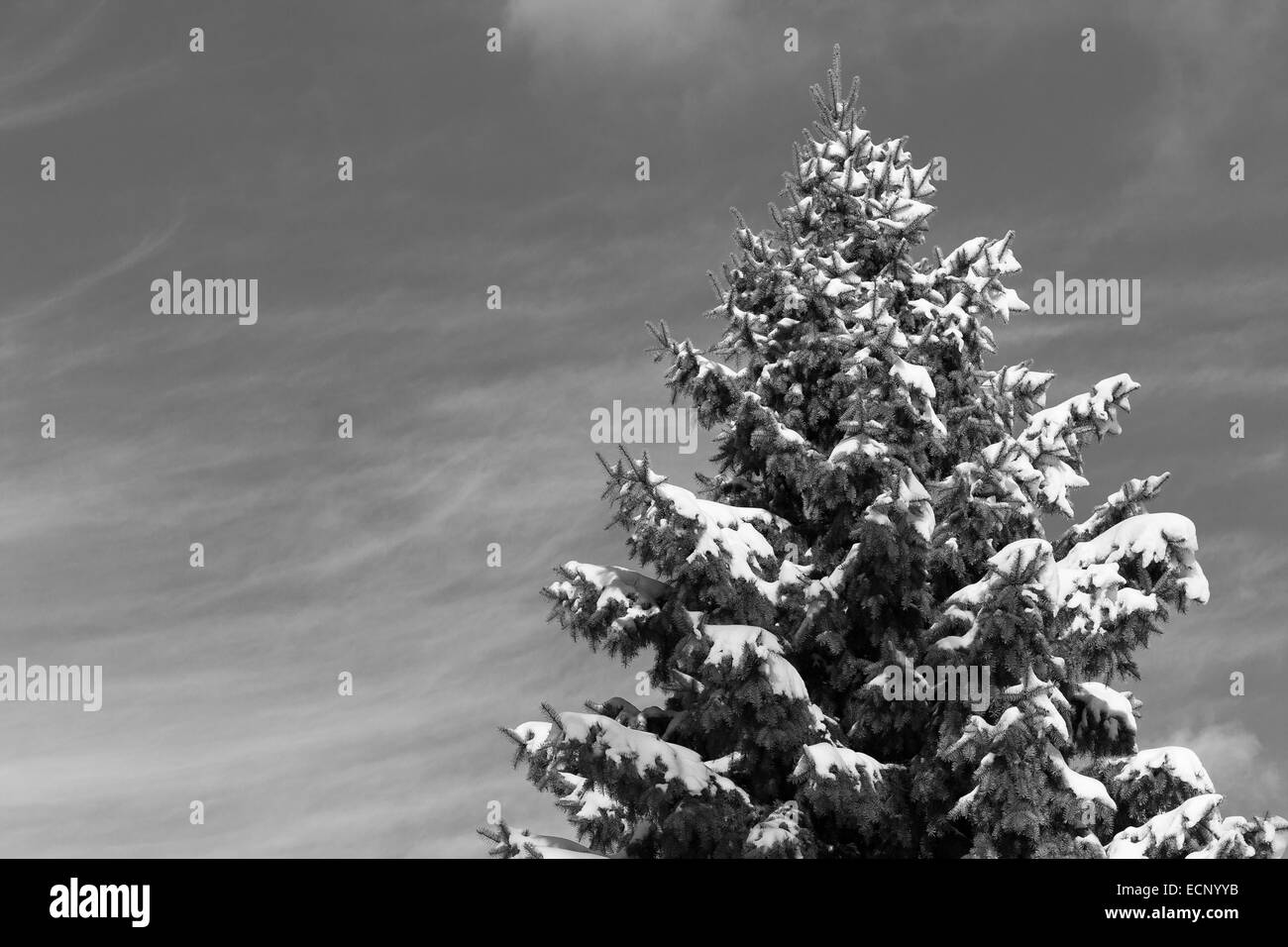 A canadian Tree covered in snow in the winter in black and white - Stock Image