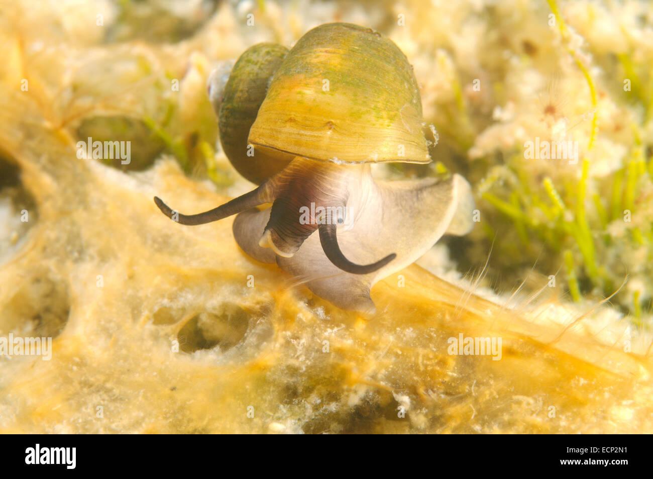 mollusc (Benedictia baicalensis) Lake Baikal, Siberia, Russia Stock Photo