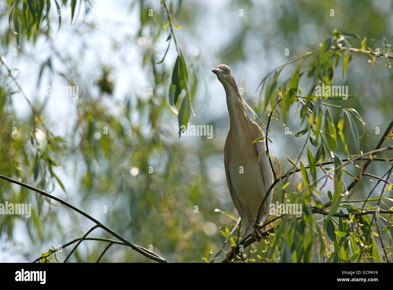 Squacco heron (Ardeola ralloides), Danube delta, Romania, Europa - Stock Image