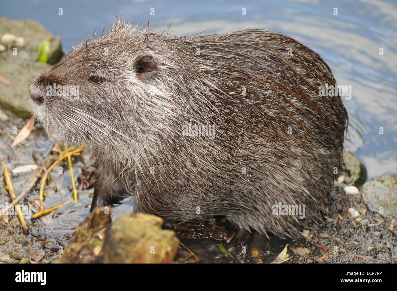 European Beaver Stock Photo