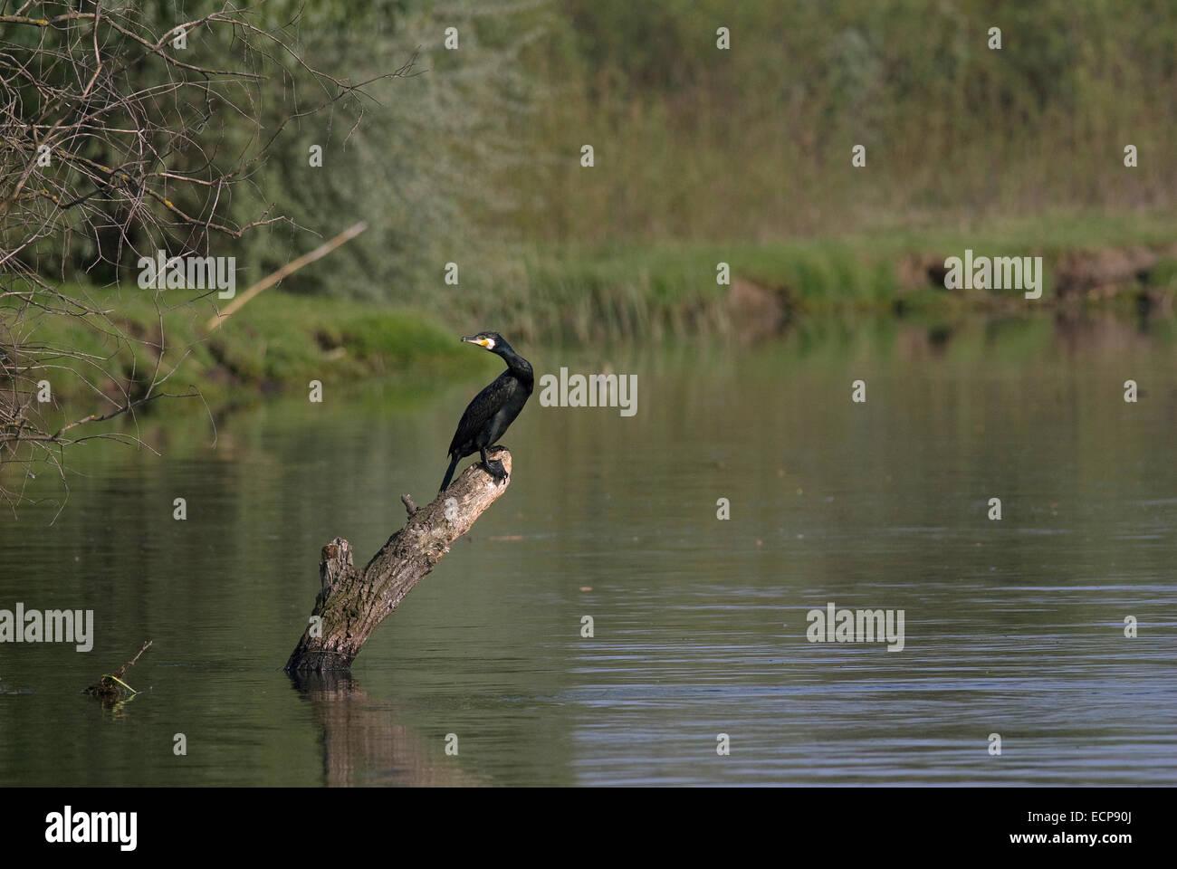 Cormorant (Phalacrocorax carbo), Danube delta, Romania, Europa - Stock Image