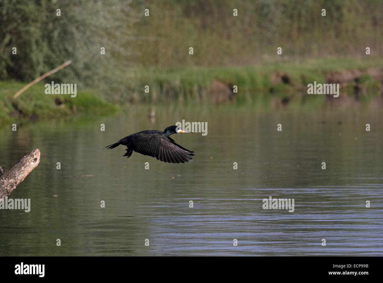 Cormorant (Phalacrocorax carbo) in flight, Danube delta, Romania, Europa - Stock Image