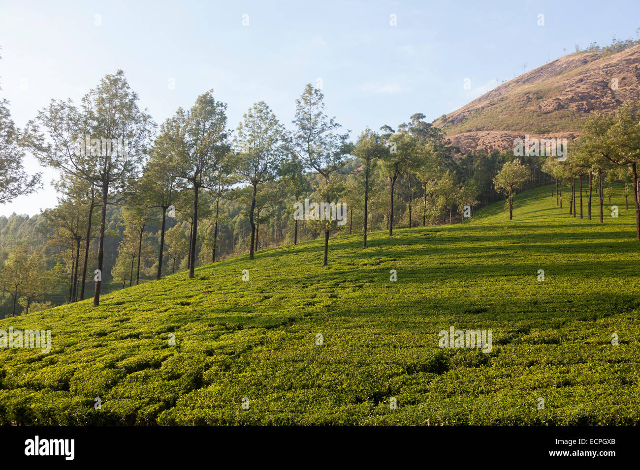 Munnar is a town and hill station located in the Idukki district of the southwestern Indian state of Kerala. - Stock Image