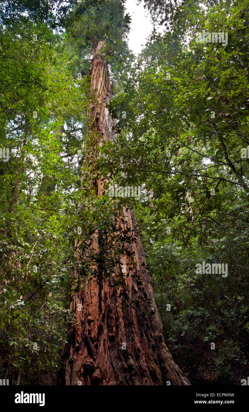 The 1,200-year old, 297-foot talll Old Tree at Portola Redwoods State Park in the Santa Cruz Mountains. - Stock Image