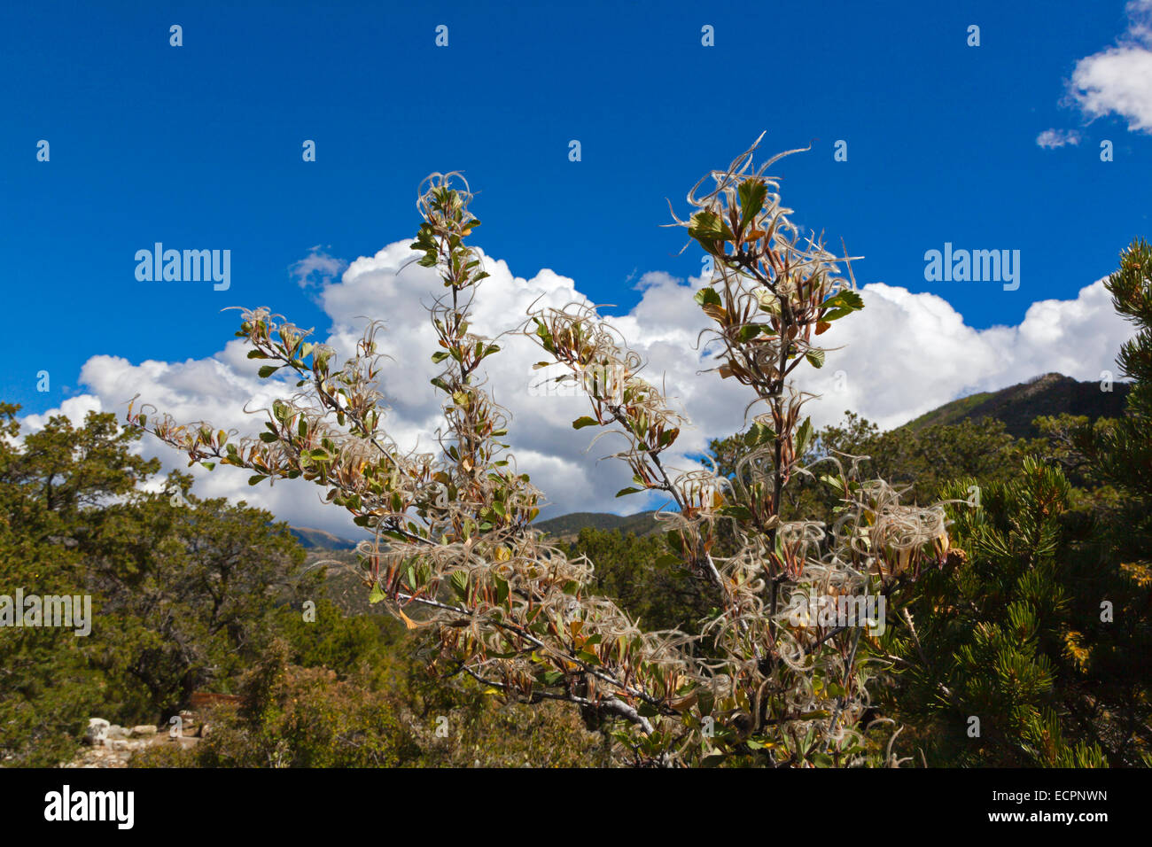 MOUNTAIN MAHOGONY (Cercocarpus montanus) seeds  in the Rocky Mountains - COLORADO Stock Photo