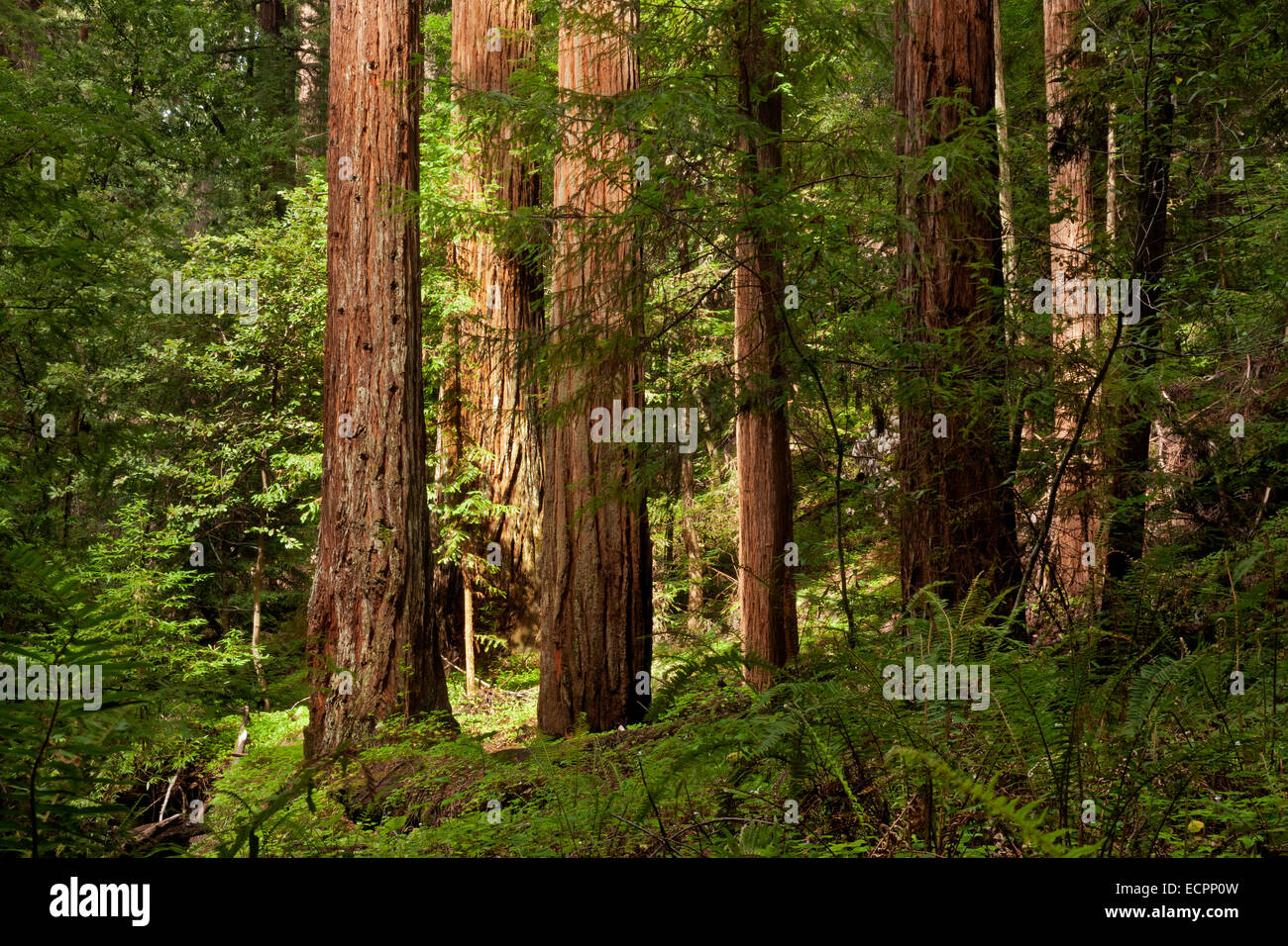 Redwood trees in the Peters Grove area of Portola Redwoods State Park in the Santa Cruz Mountains. - Stock Image