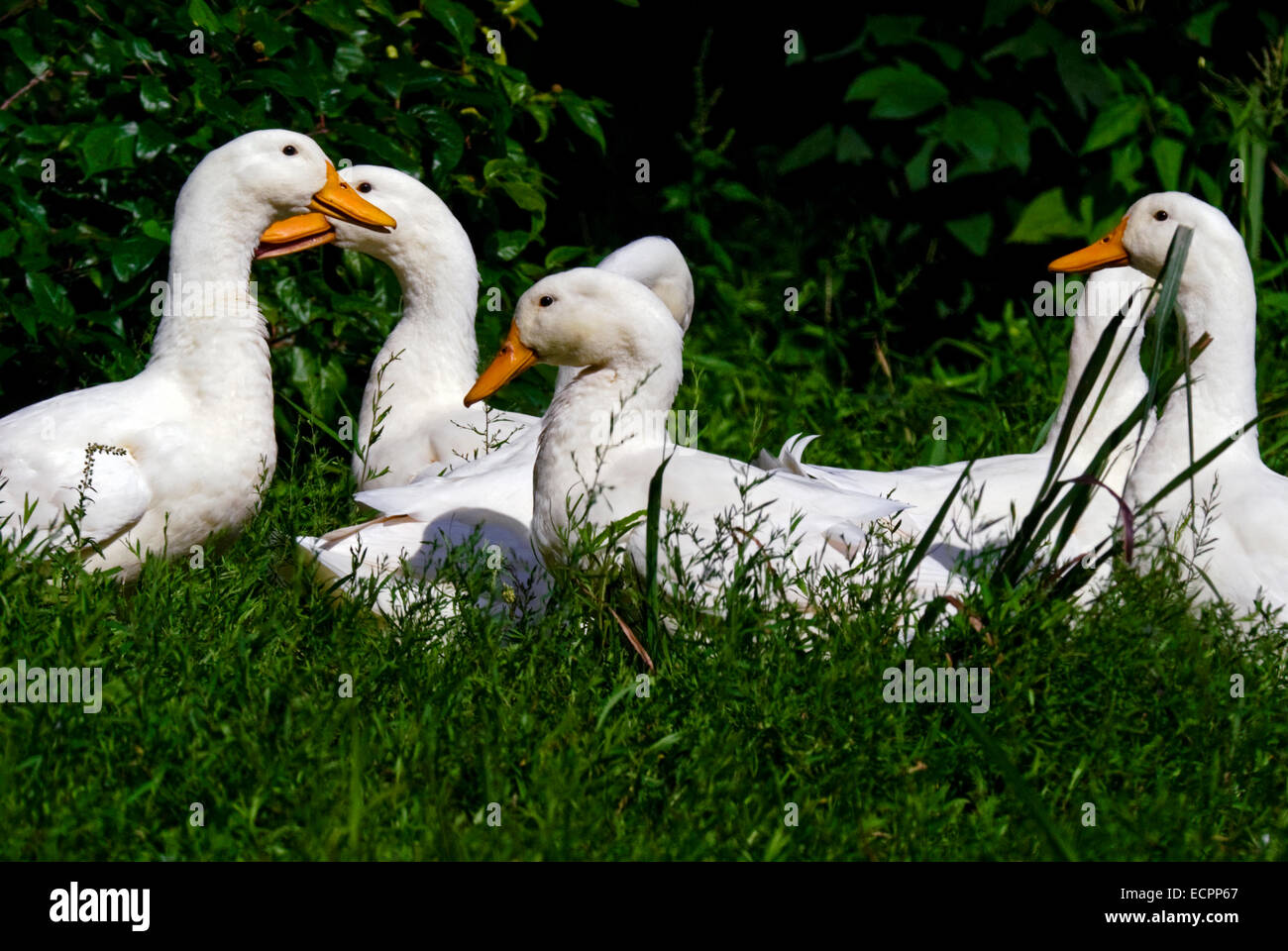 A group of Pekin ducks in some grass, near a pond adjacent to Lake Monroe, Indiana, USA. - Stock Image