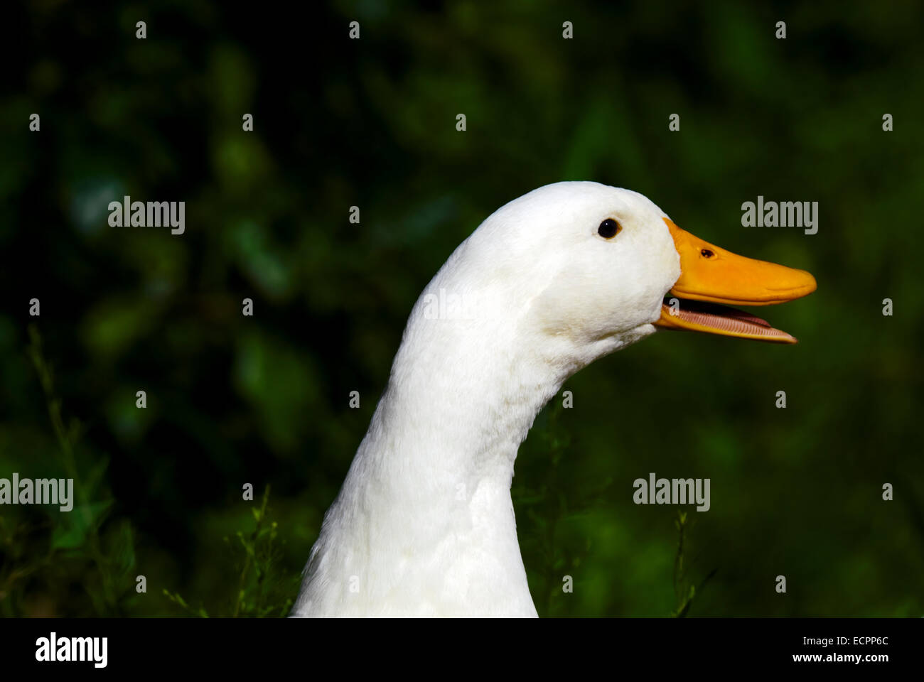 A Pekin duck in some grass, near a pond adjacent to Lake Monroe, Indiana, USA. - Stock Image