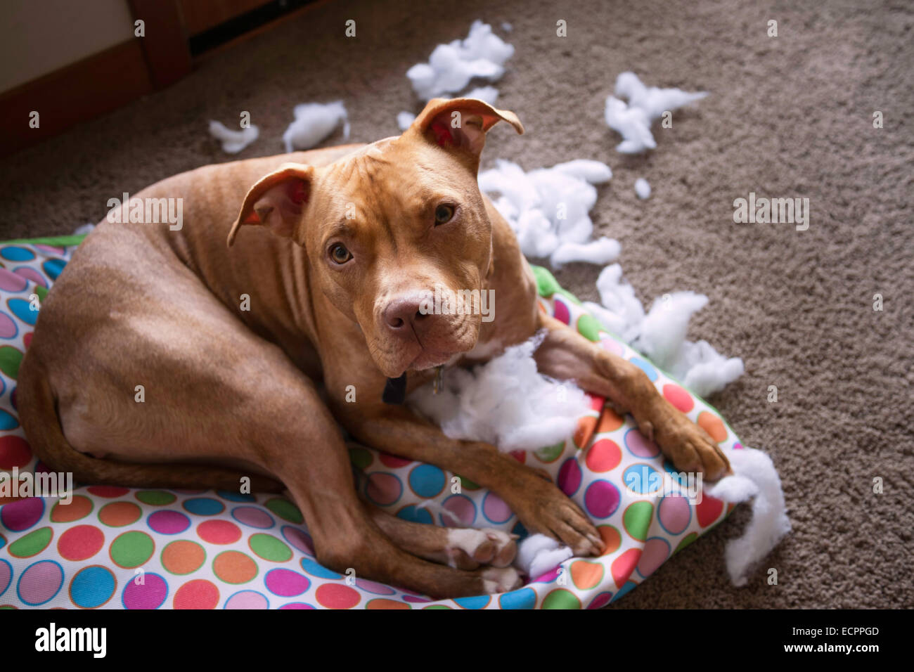 Dog looking guilty on ripped dog bed - Stock Image
