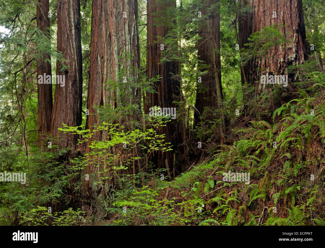 CA02535-00...CALIFORNIA - Redwood trees in the Peters Grove area of Portola Redwoods State Park in the Santa Cruz - Stock Image