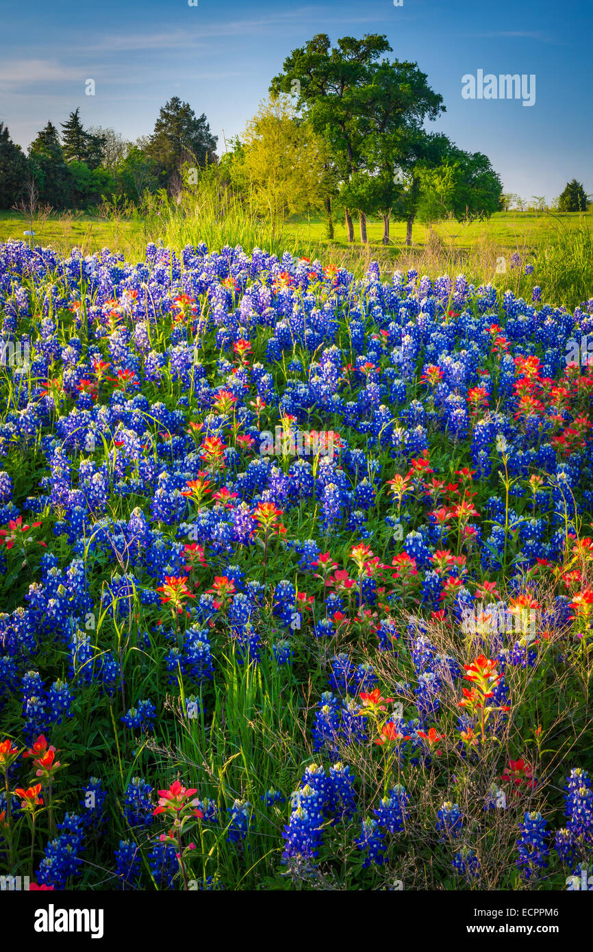 Bluebonnets in Ennis, Texas. Lupinus texensis, the Texas bluebonnet, is a species of lupine endemic to Texas. - Stock Image