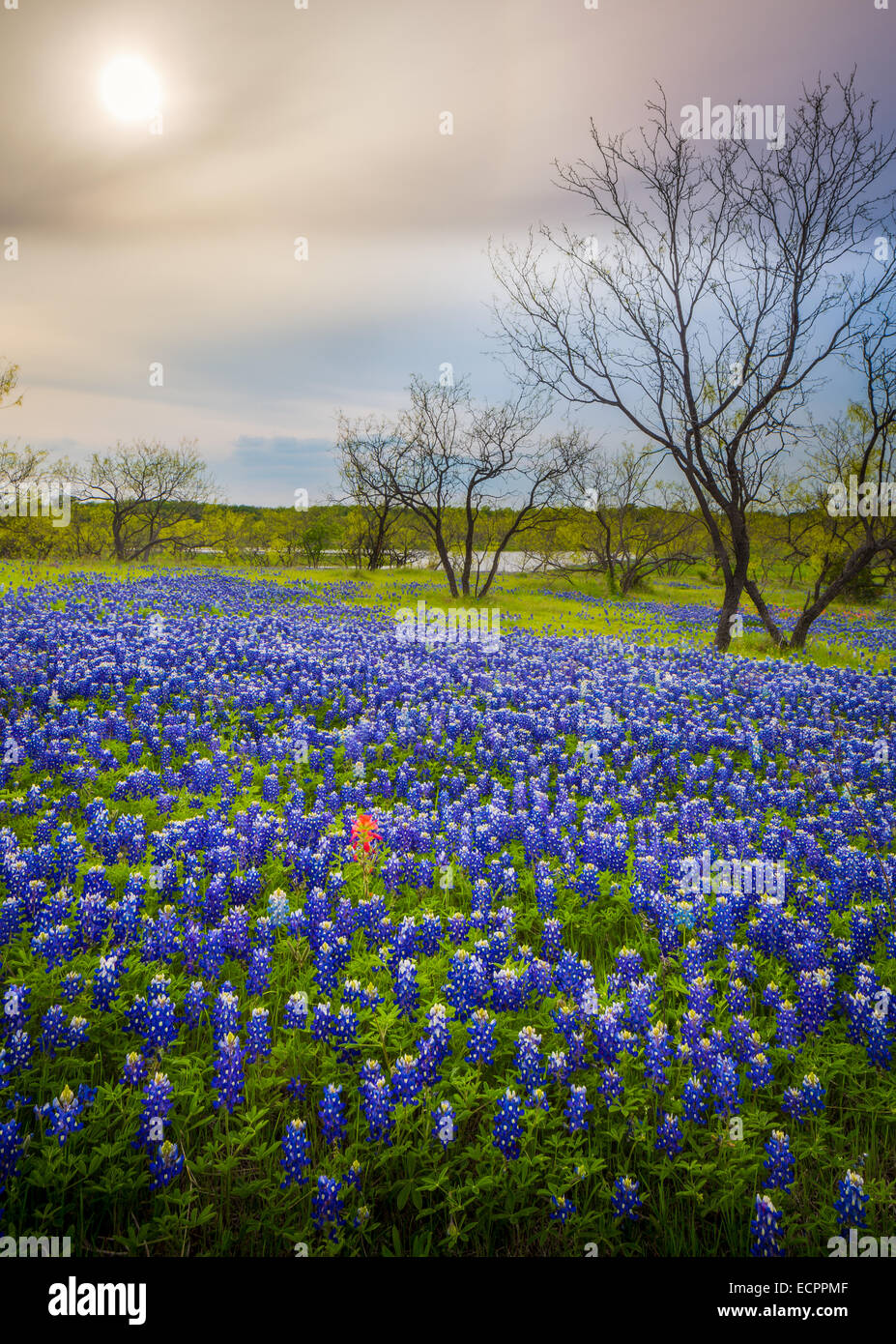 Bluebonnets in Ennis, Texas. Lupinus texensis, the Texas bluebonnet, is a species of lupine endemic to Texas - Stock Image