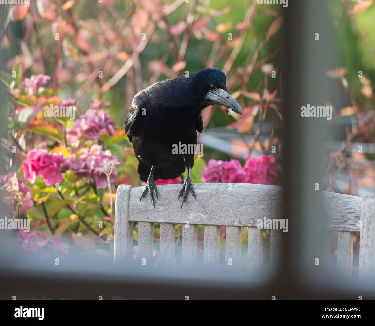 rook standing on garden chair against bright autumn garden background looking into house window - Stock Image