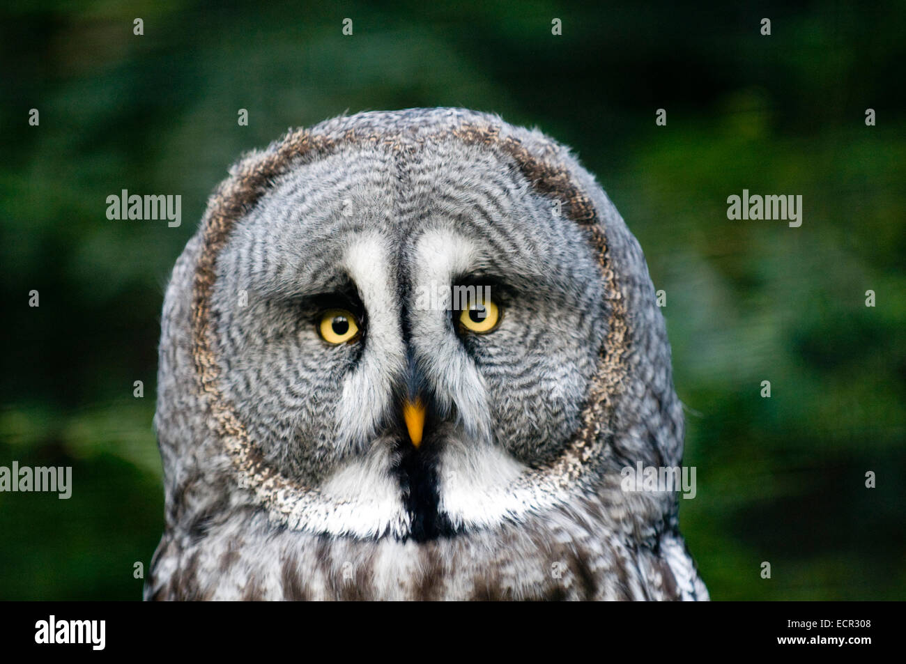 This is siberian gray owl. It is raptorial nocturnal bird. - Stock Image