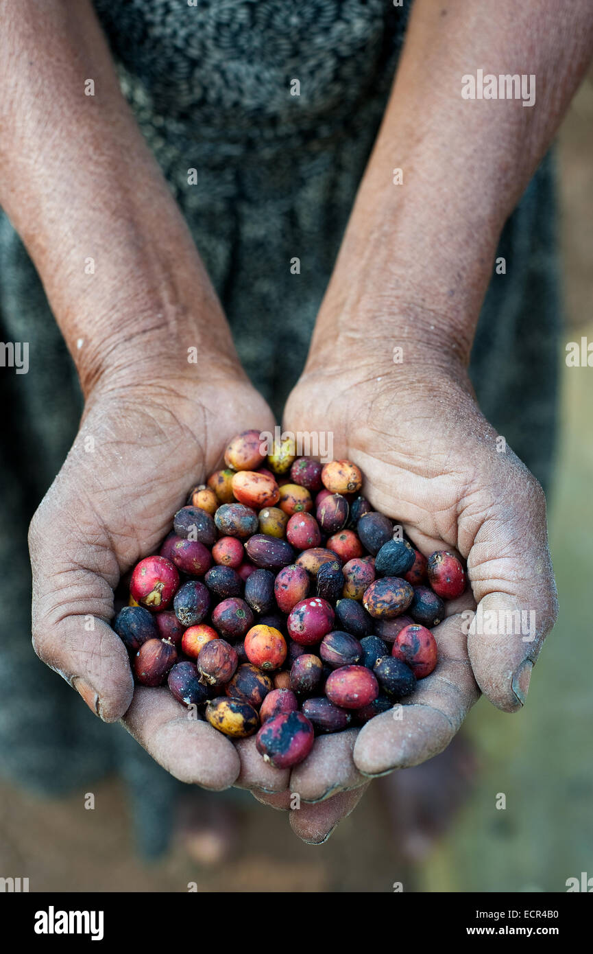 Small scale female farmer holding coffee berries sundrying in her farm ( Ethiopia) - Stock Image