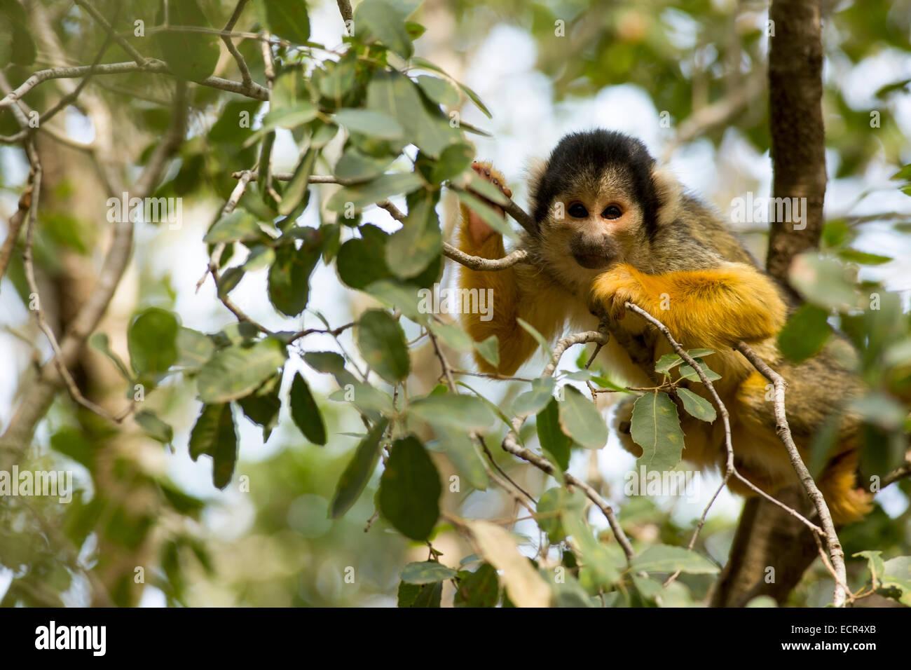 Squirrel monkeys in trees - photo#44