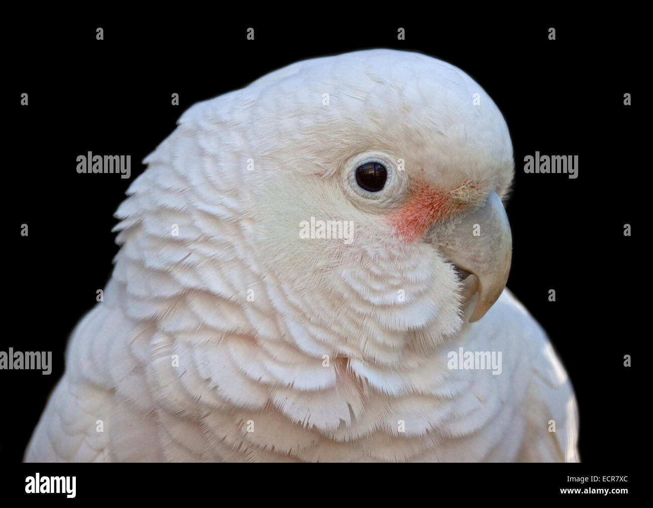 Goffin's Cockatoo (cacatua goffiniana) - Stock Image