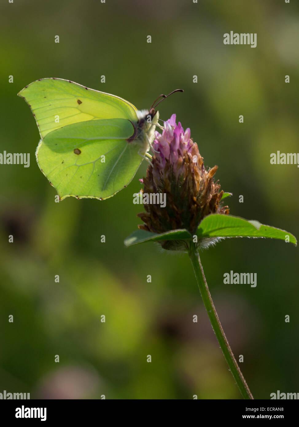 The Brimstone Butterfly (Gonepteryx rhamni) On Clover Stock Photo