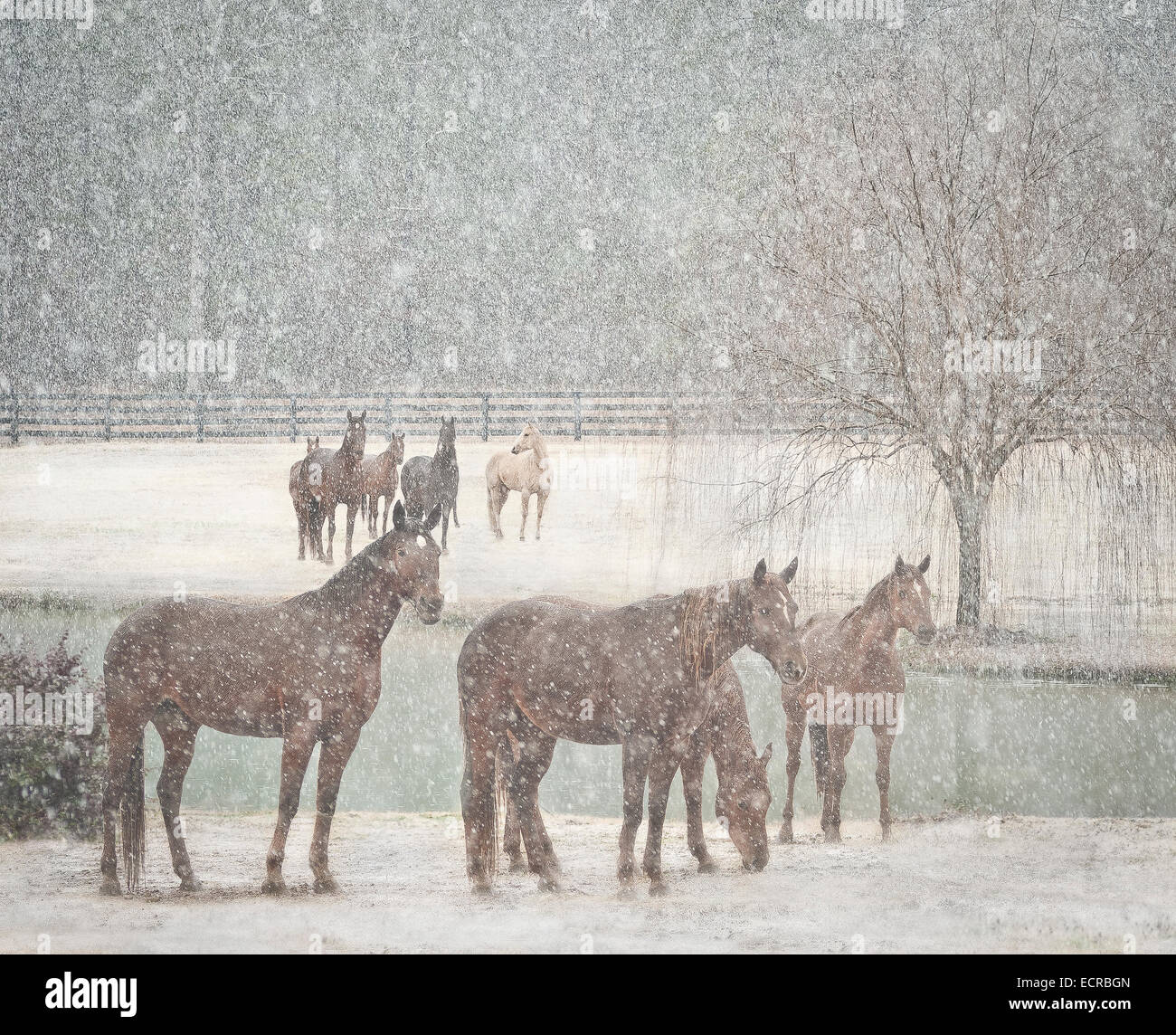 Herd of mares in snow storm - Stock Image