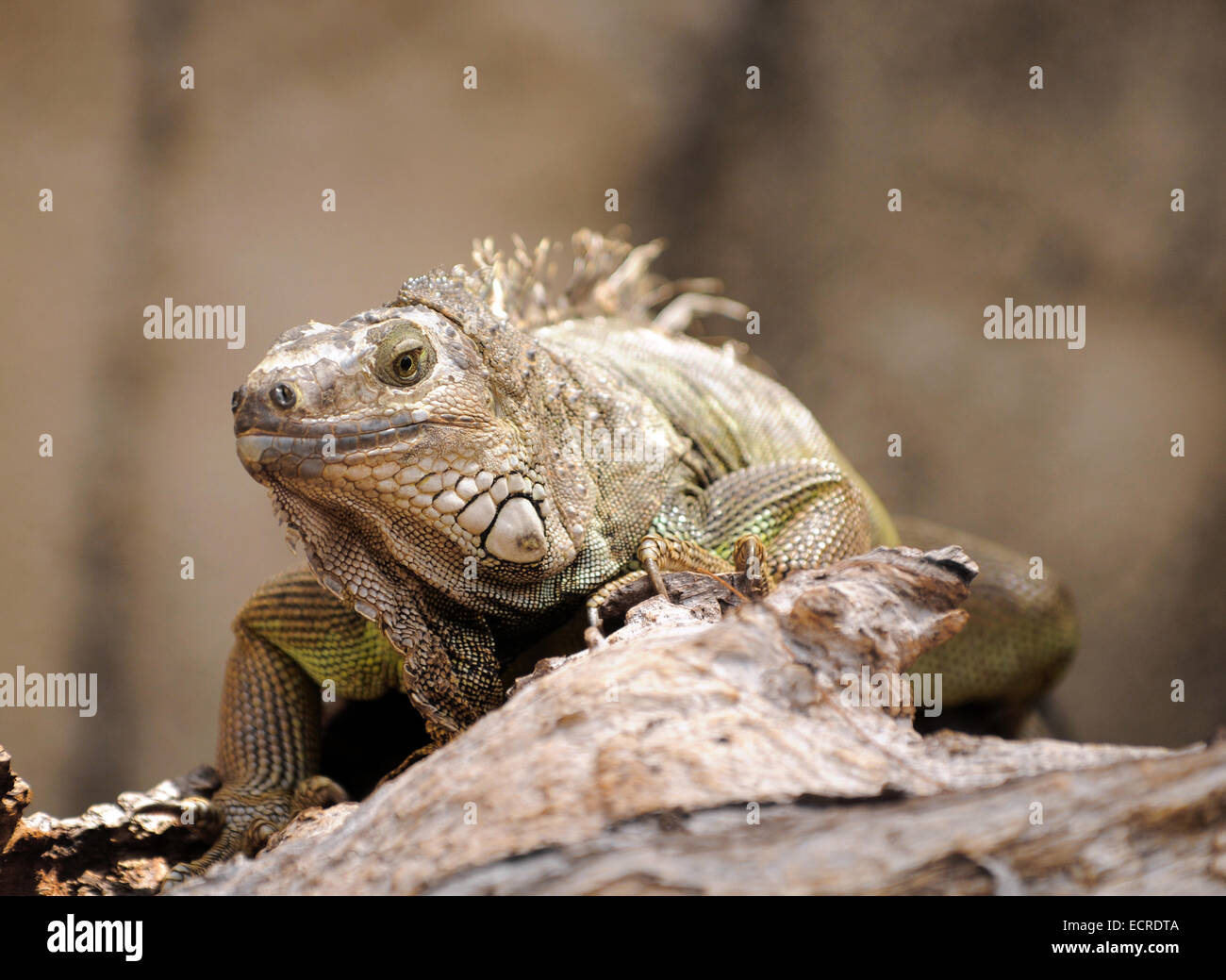 Close up view of exotic lizard on rock Stock Photo