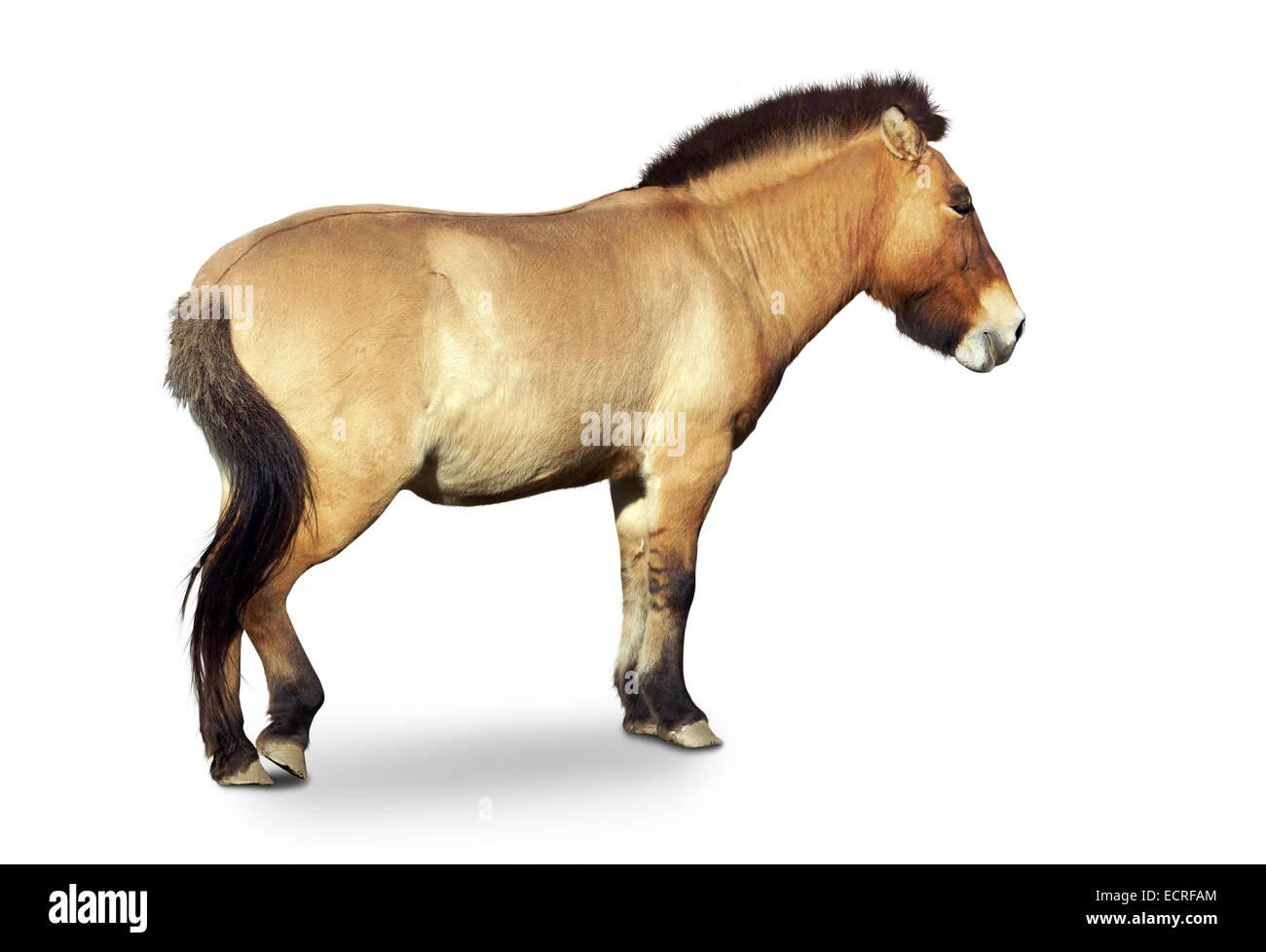 Przewalski's primitive wild horse, Equus przewalsk,full body isolated on white - Stock Image