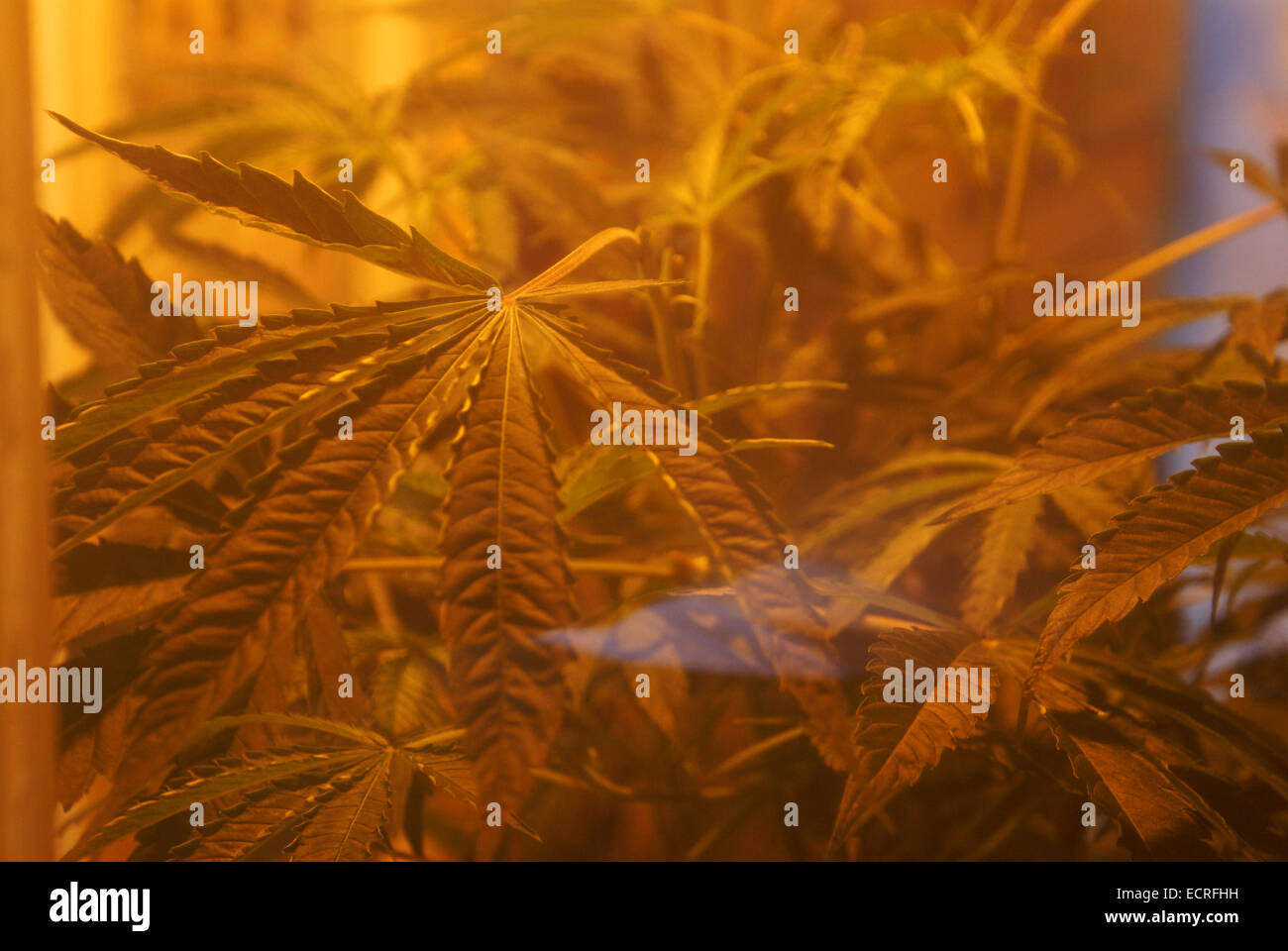 A cannabis leaf photographed through a window in Amsterdam - Stock Image