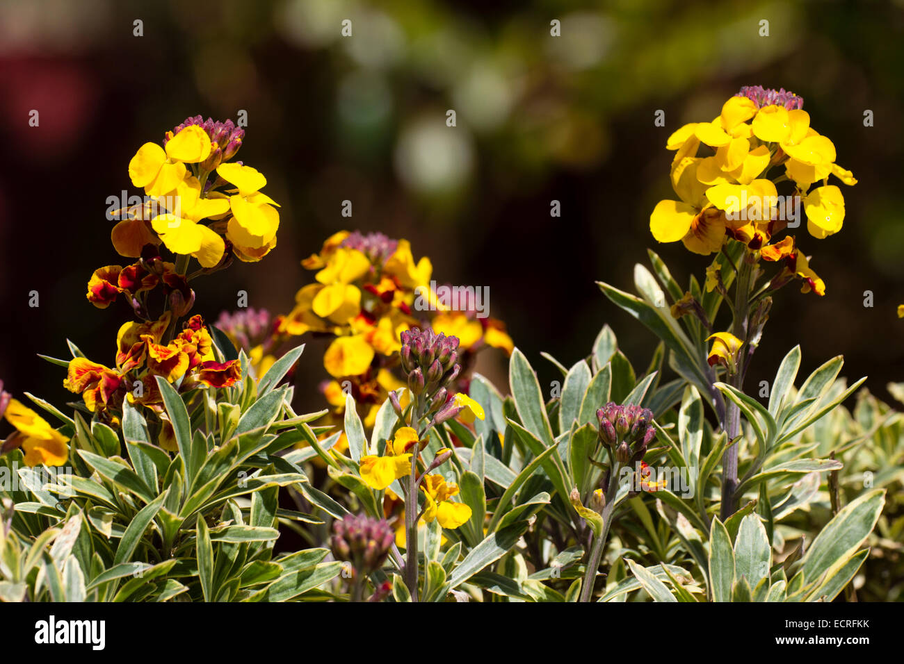 Fragrant Yellow Flowers And Variegated Foliage Of The Shrubby Stock