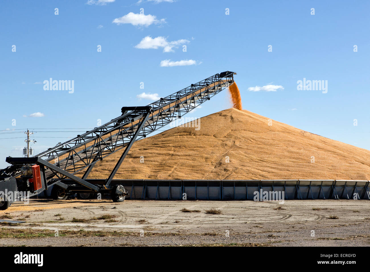Transport conveyor transporting shelled corn into storage bunker. - Stock Image