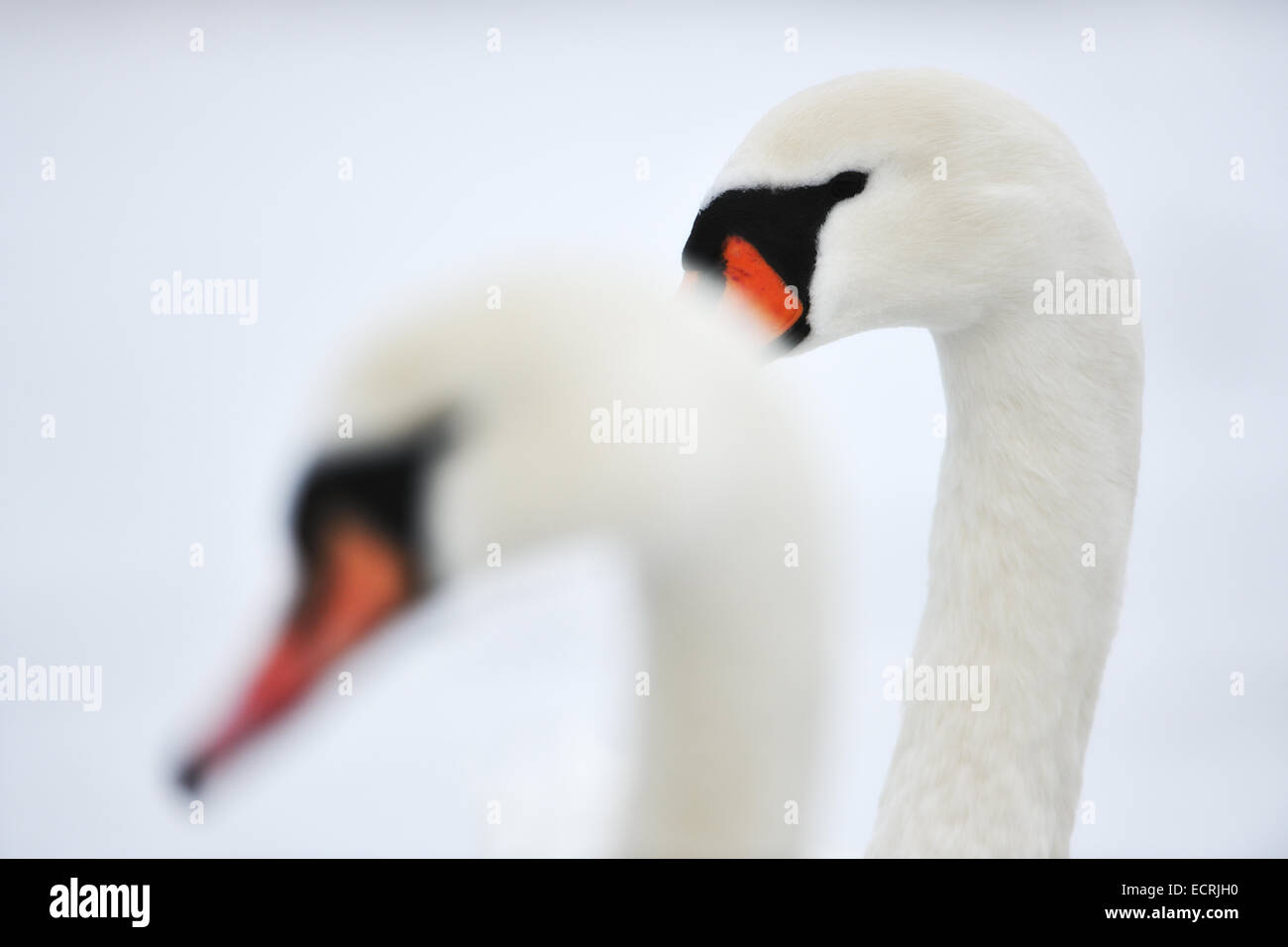 Close up of a pair of swans Stock Photo