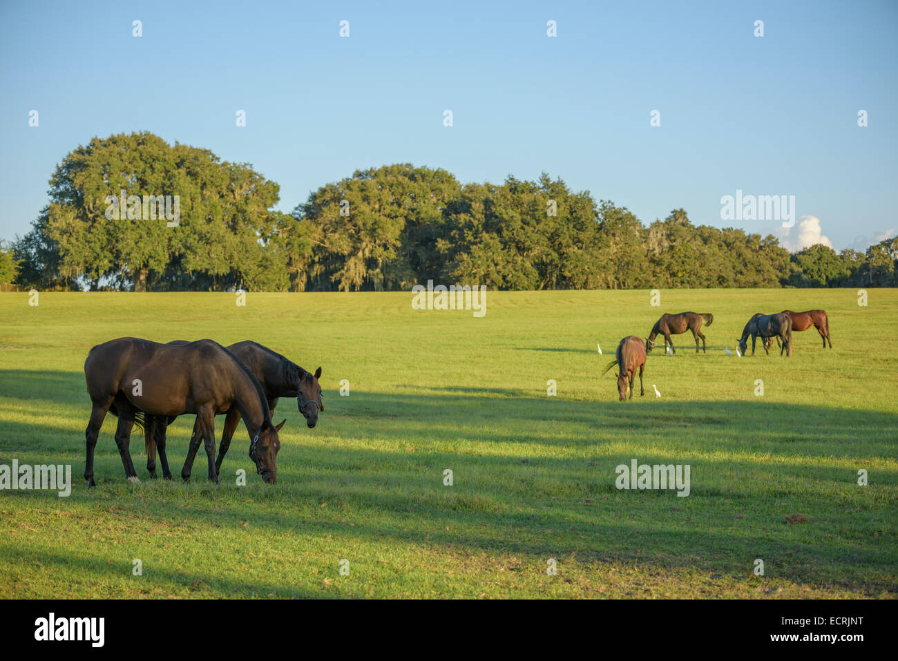 Herd of Thoroughbred horses in green pasture - Stock Image