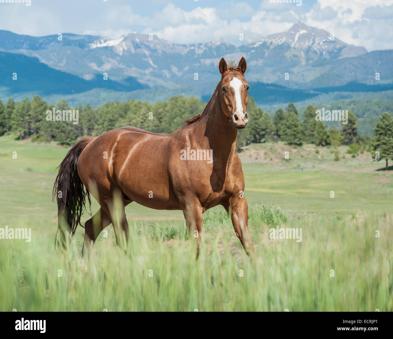 Quarter Horse stallion - Stock Image