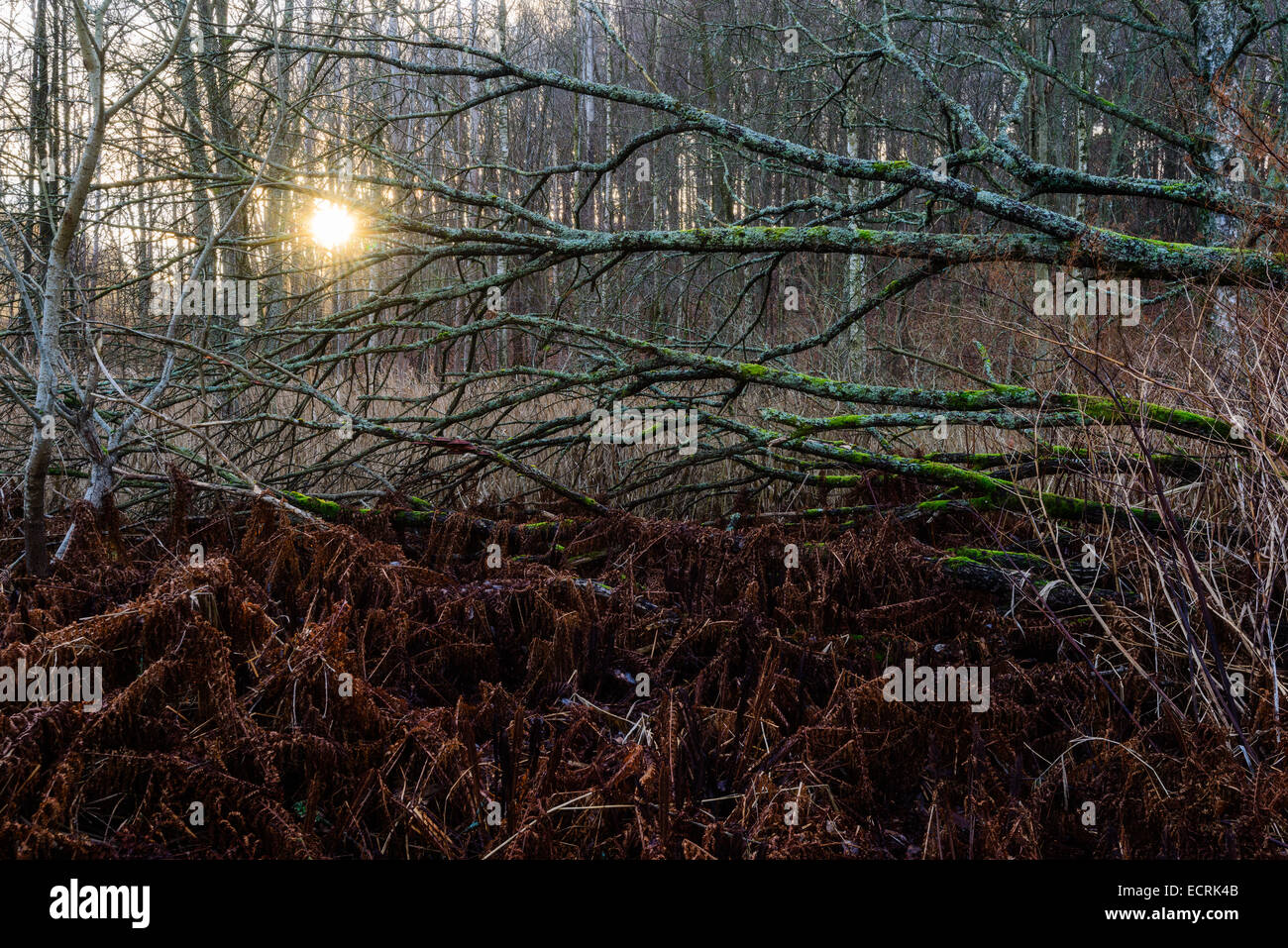Sunlight through a tangle of branches and undergrowth in a forest Stock Photo