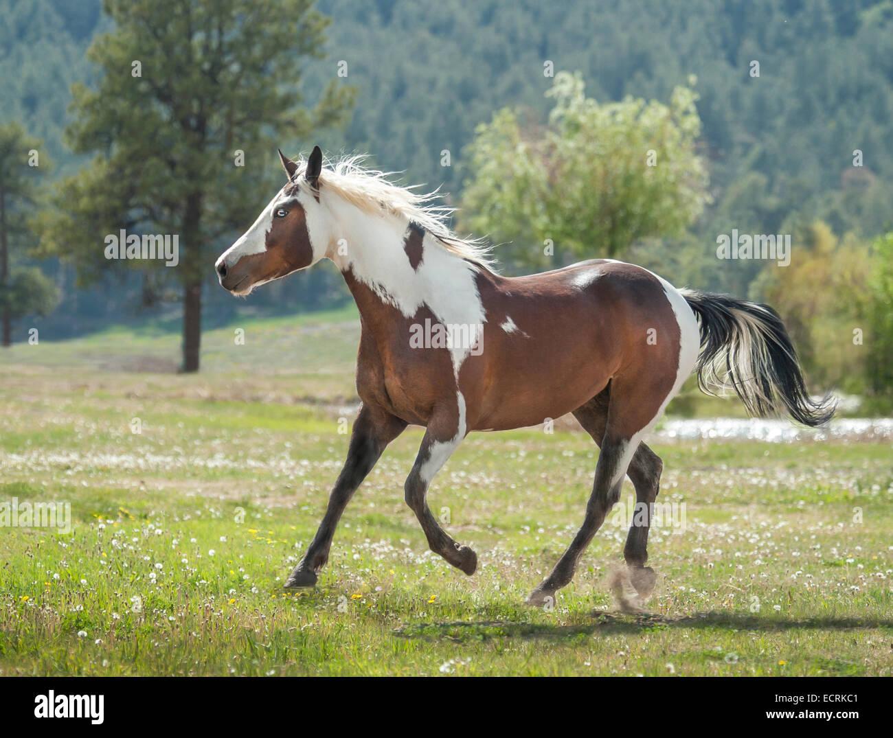 Quarter Horse appendix Paint gelding - Stock Image