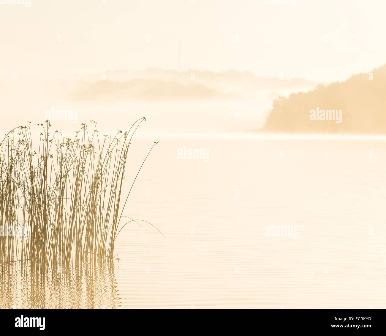 Tall grass growing on a riverbank on a foggy day - Stock Image