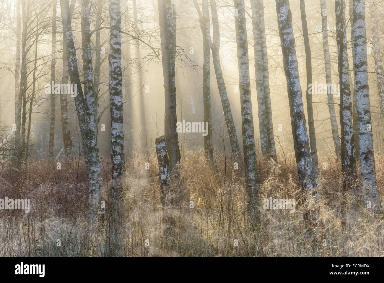 Birch trees and tall grass in a misty forest - Stock Image