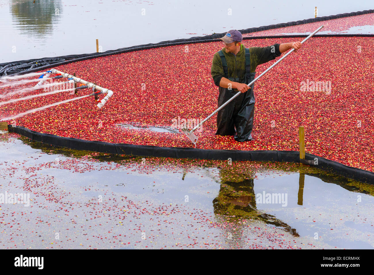 Cranberry harvest, Keefer Farms, Richmond, British Columbia, Canada - Stock Image