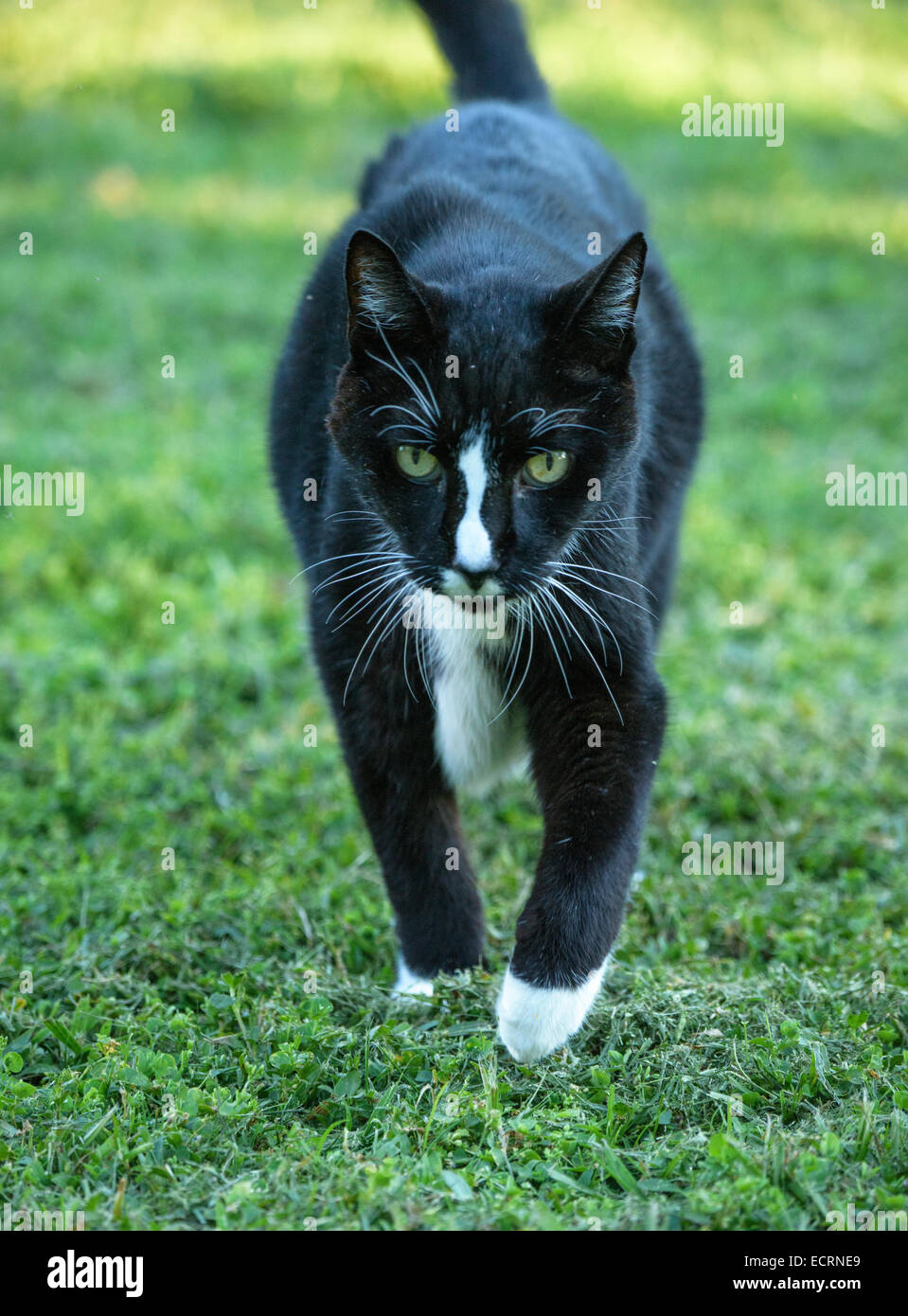 Aged barn cat pet approaches - Stock Image