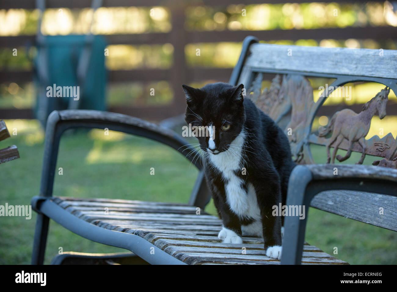 Aged barn cat pet sitting on bench - Stock Image