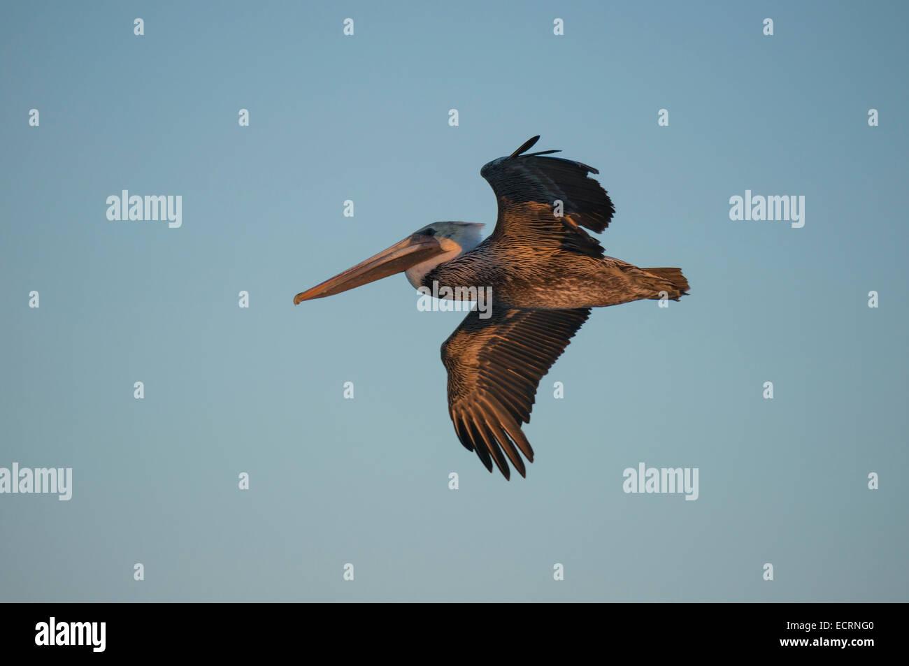 Brown Pelican in flight - Stock Image
