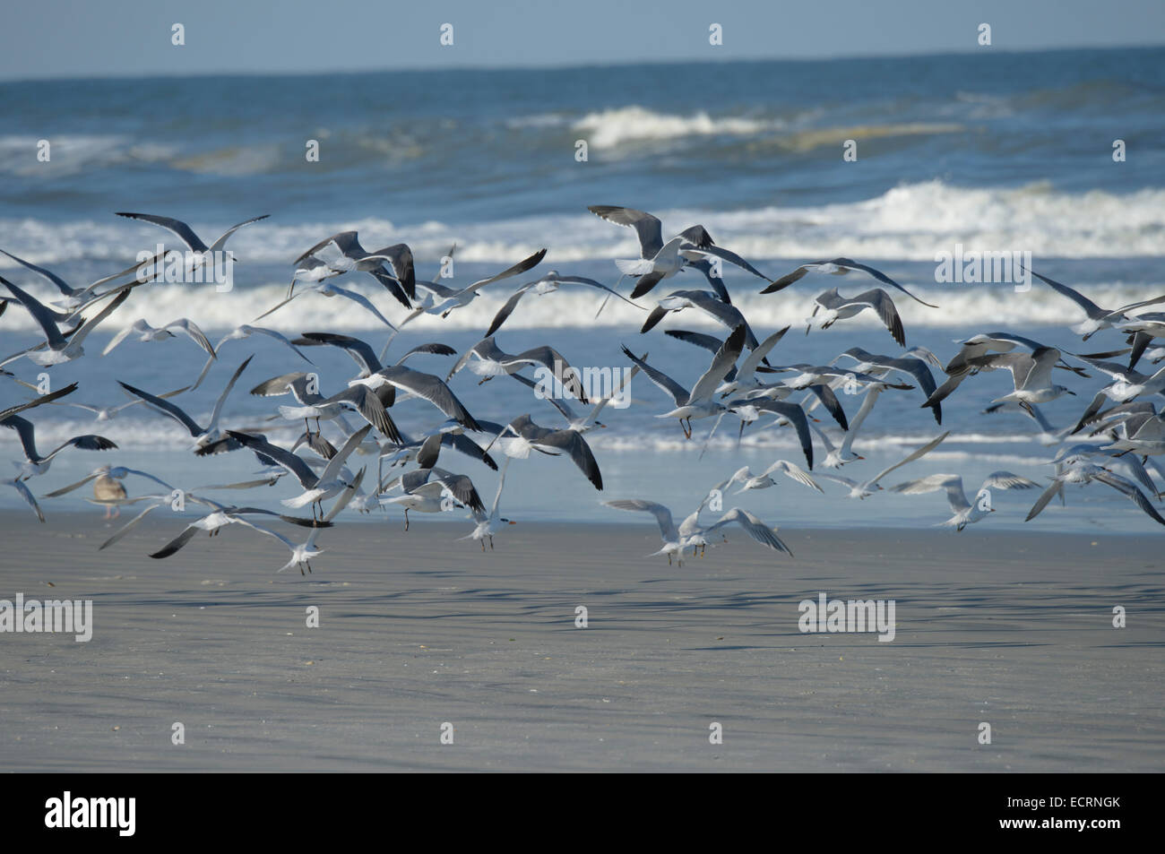 Gulls and Tern Shore birds fly from beach at Lighthouse Point Park, Ponce Inlet, Volusia County Florida USA - Stock Image