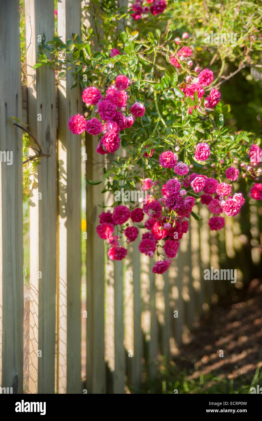 Roses on white picket fence - Stock Image