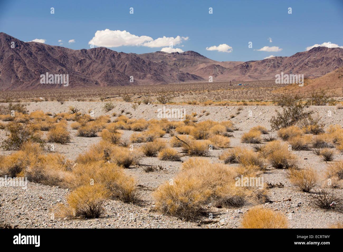 Tumbleweed growing in the Mojave Desert in California, USA. - Stock Image