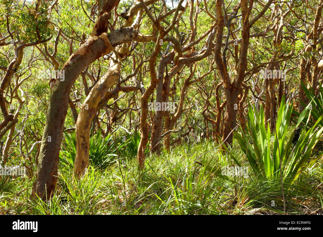 Eucalyptus forest in Royal National Park, Lilyvale, NSW, Australia. - Stock Image
