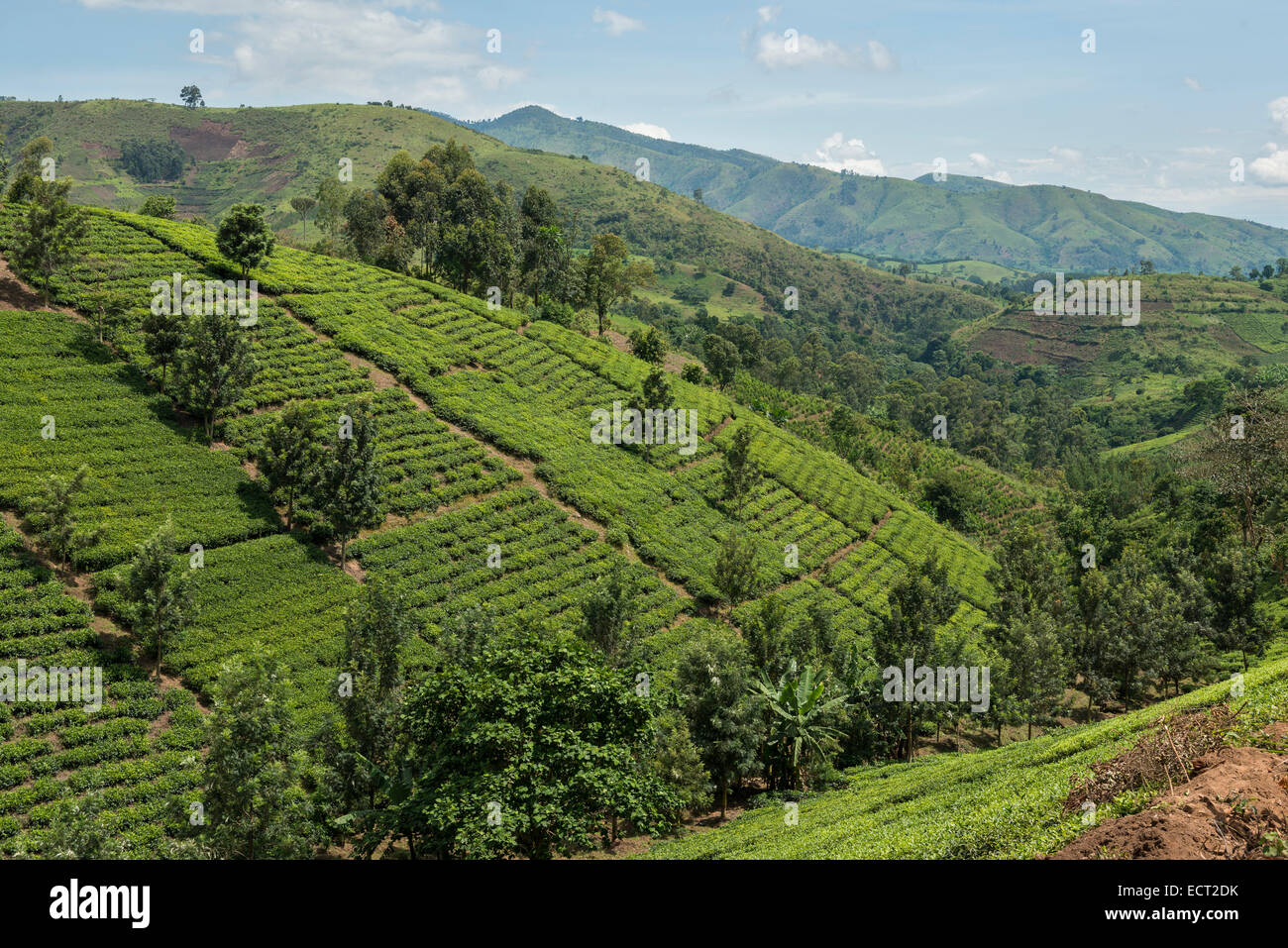 Cultivated fields on a slope, Uganda - Stock Image
