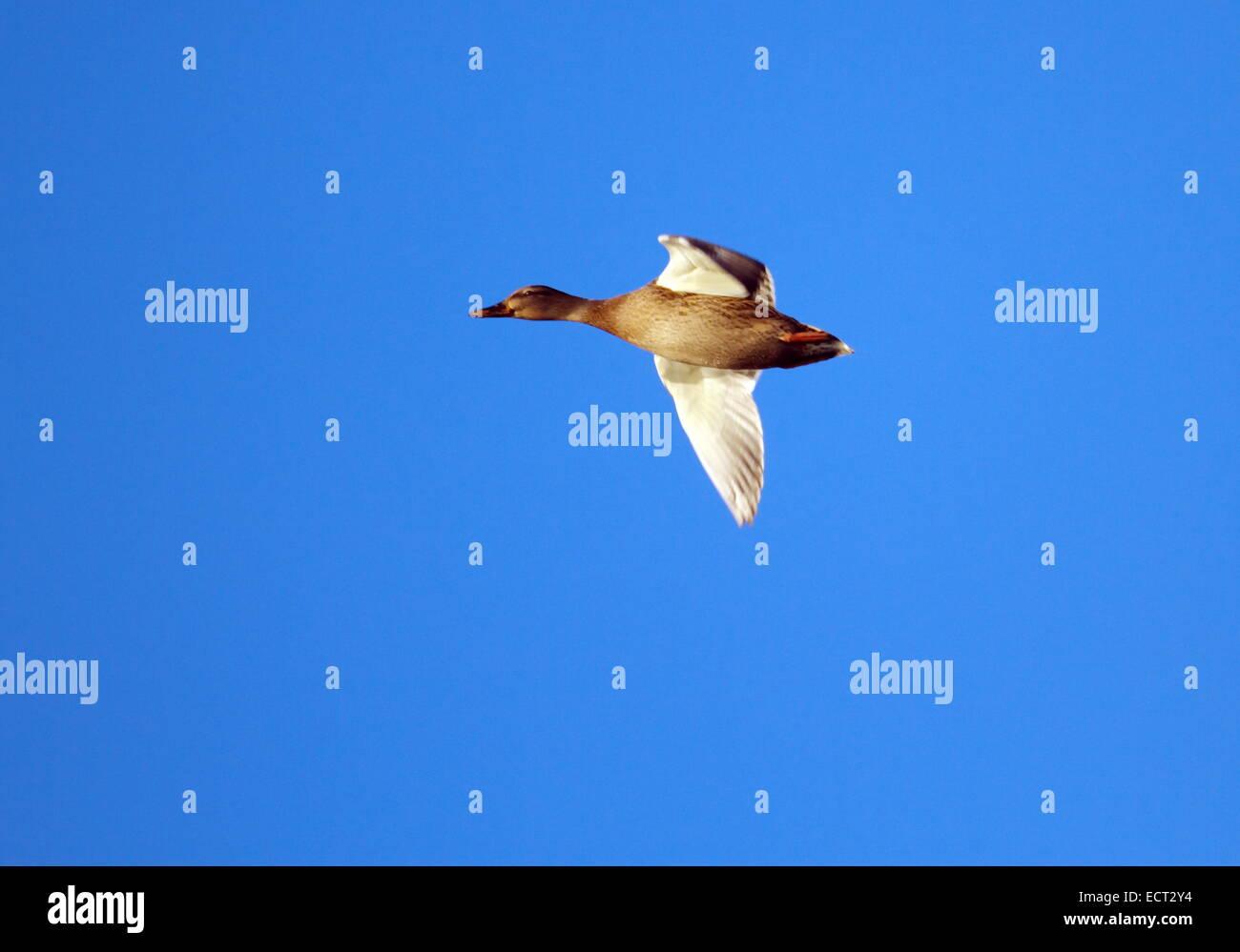 Female mallard duck flying into deep blue sky by sunset - Stock Image