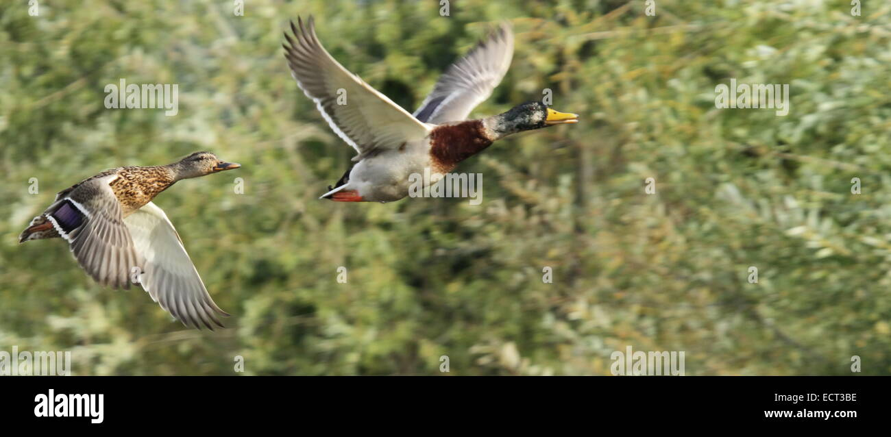 Couple of mallard duck flying next to trees - Stock Image