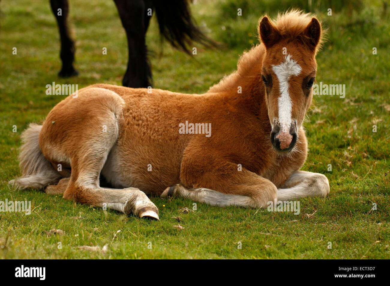 Wild Or Semi Feral Pony Foal On Dartmoor This Cute Little Baby Stock Photo Alamy