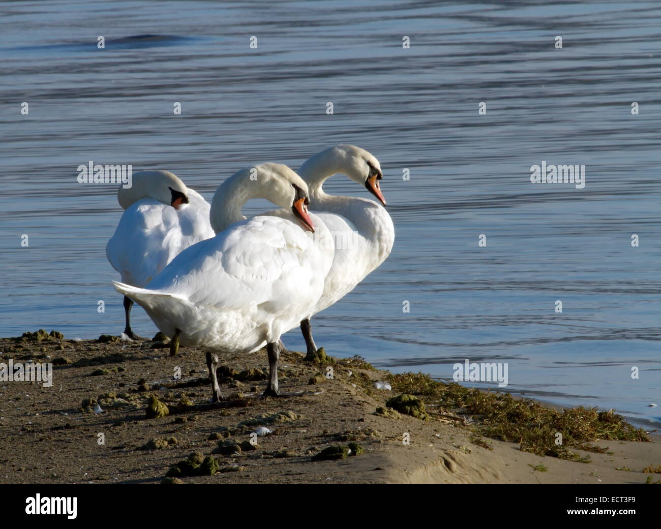 Three white swans standing close on ground and near the lake - Stock Image